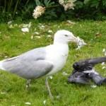das war brutal, die Taube lebte noch und die Möve hat ihr die Federn ausgehackt